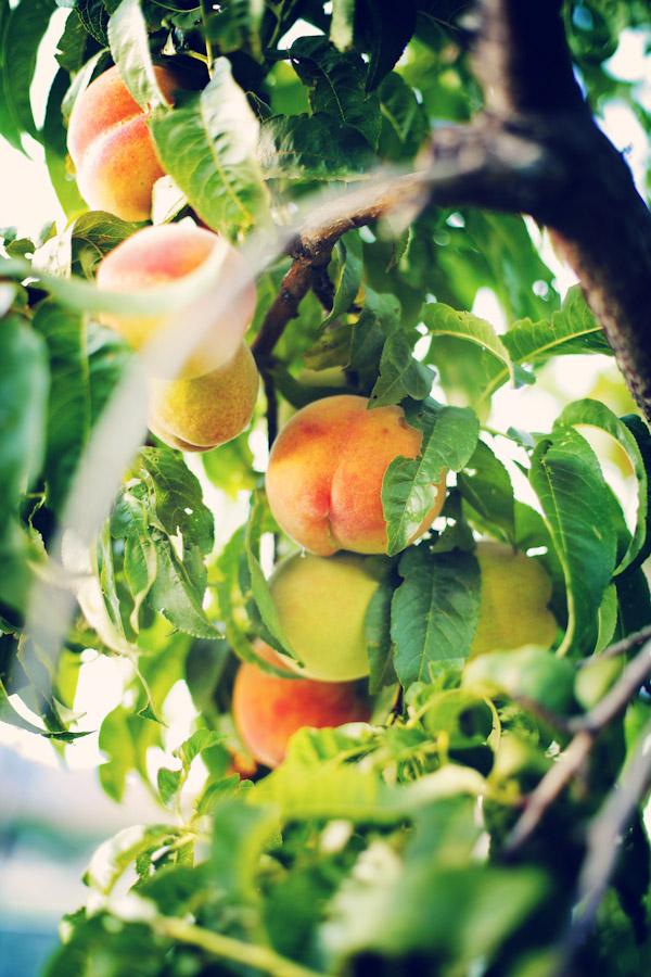 Peach_Orchard_Wedding_2306
